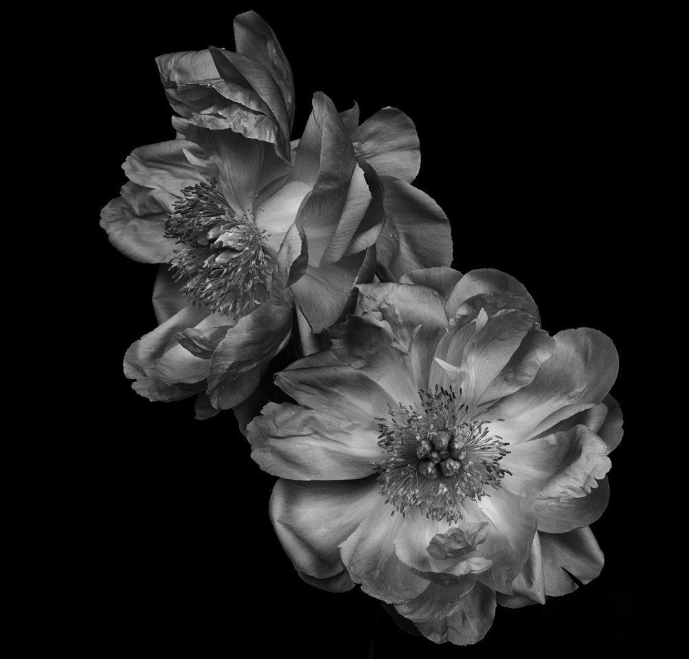 ondrea barbe black and white peony 2.jpg