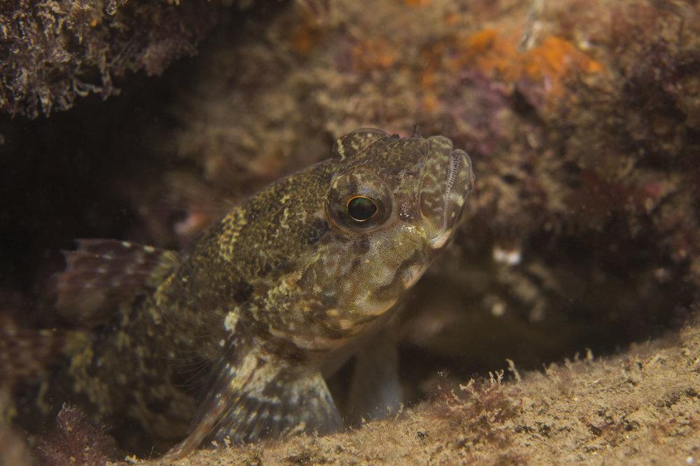 Rock Goby  Gobius paganellus Linnaeus