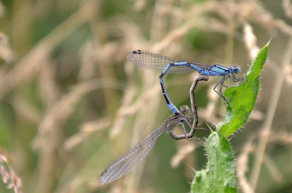 Common Blue Damselfly (Mating)