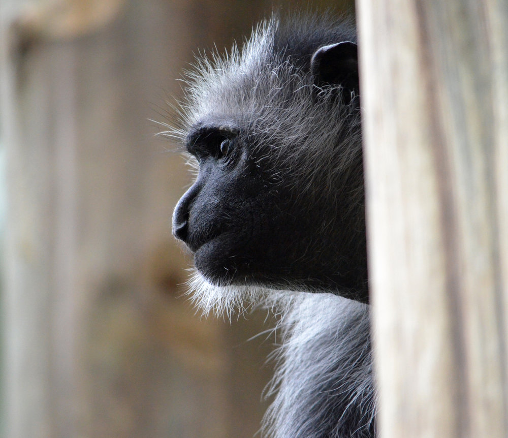 Western Black-and-White Colobus