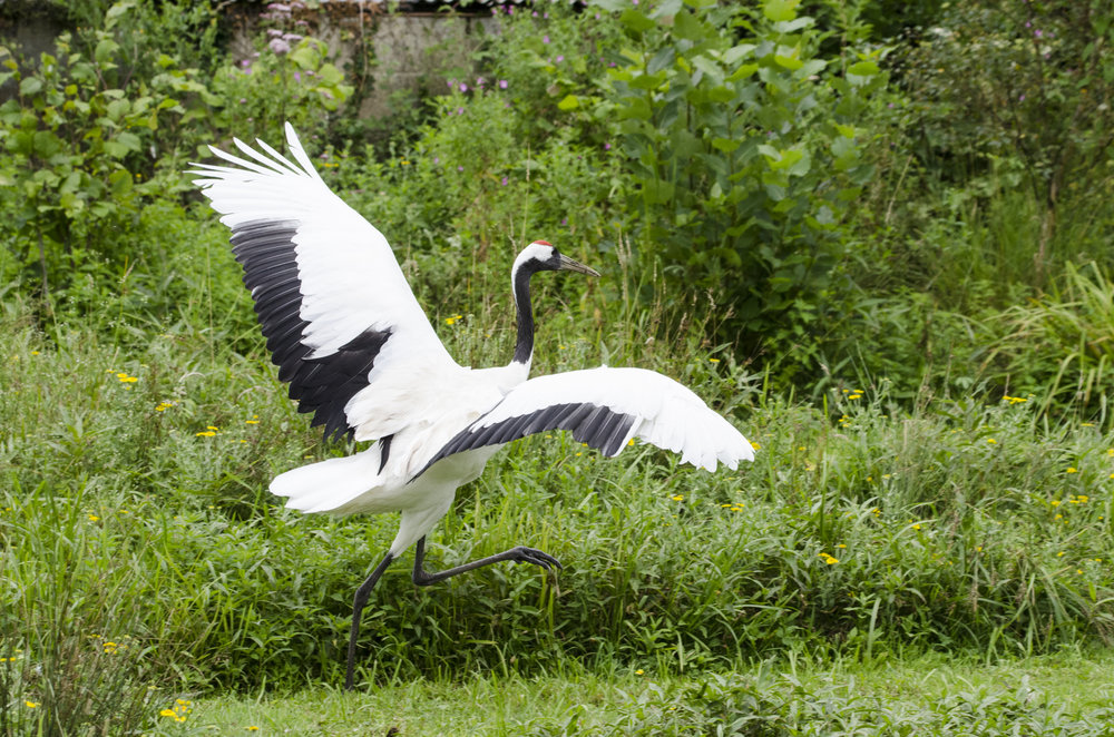 Red Crowned Crane (Captive)