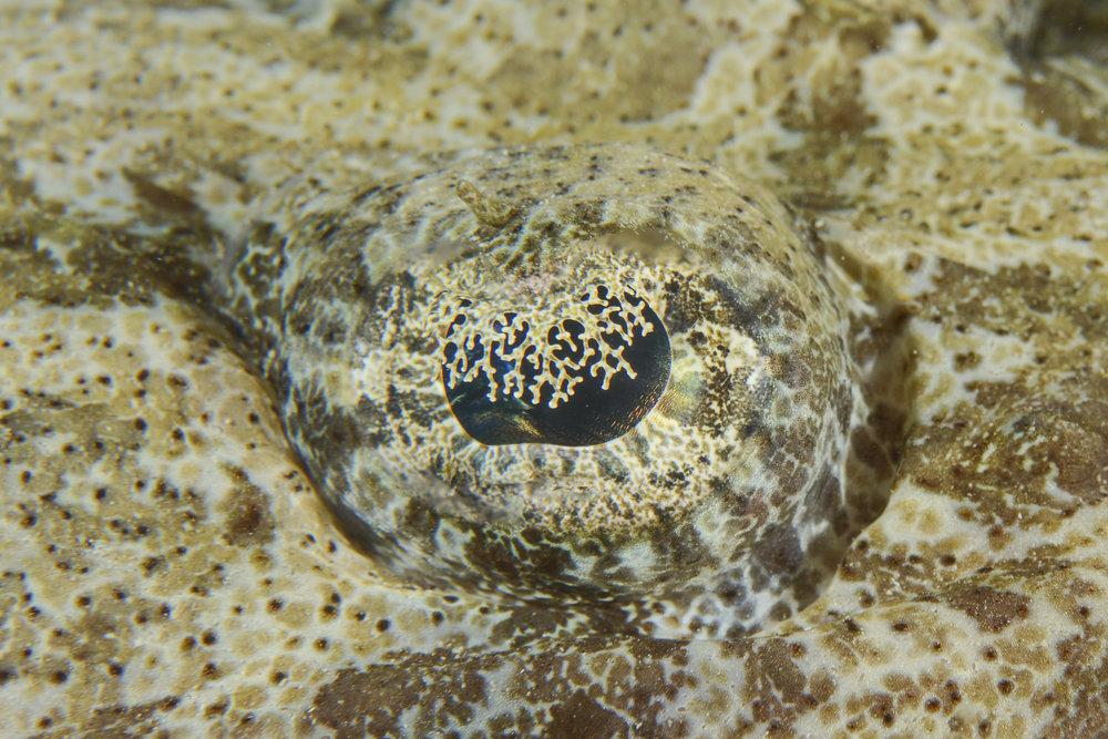 Crocodilefish Eye