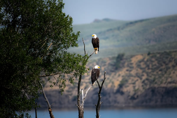 2 bald eagles in a tree overlooking a lake