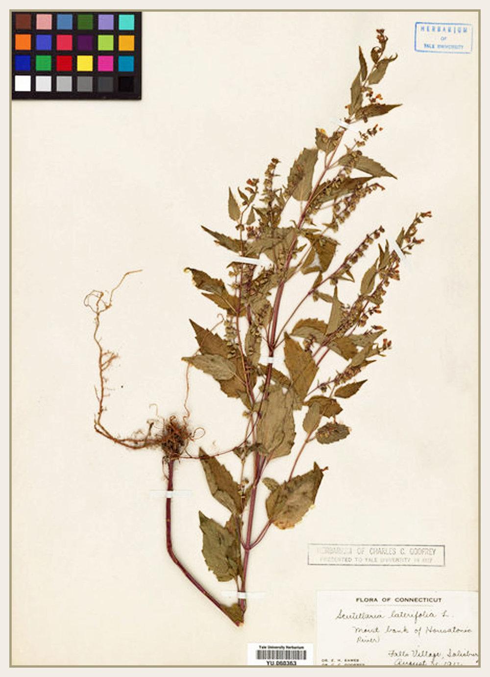 S. lateriflora