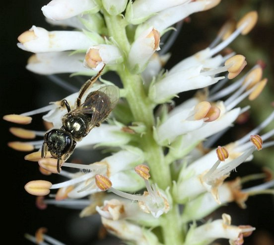 A closer view of the Culver's Root shows a small native bee harvesting food.