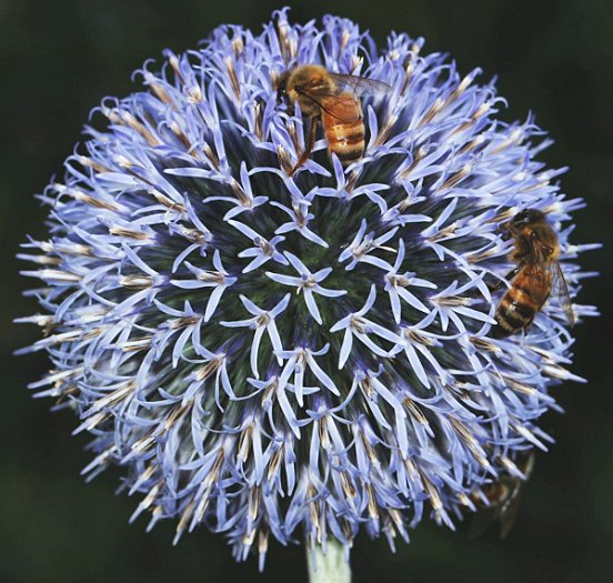 There is something cosmic about the Globe Thistle these Honey Bees are visiting.