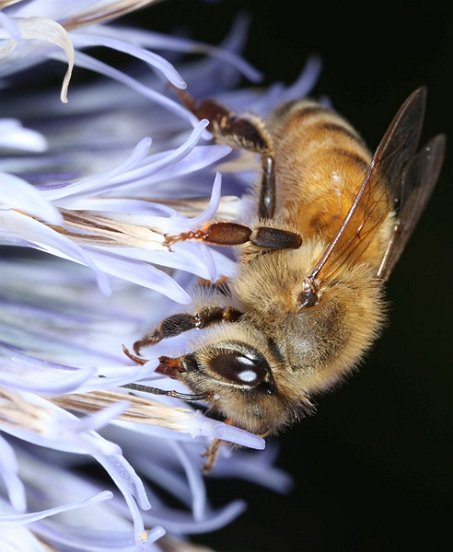 A close-up shot of one of those visitors shows the Honey Bee's signature hairy eyes.