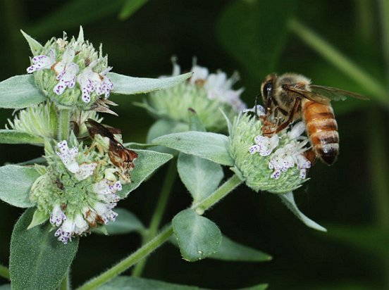 Short-toothed Mountain Mint was also hopping, as this Honey Bee shows. Notice her perilous companion?