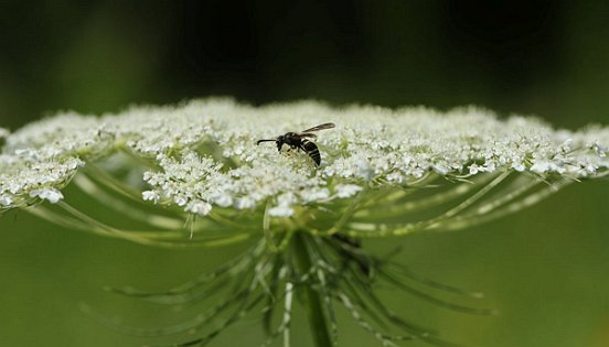 Bees were not the only flower visitors. Here, a smaller wasp rests on the 'landing deck' of Queen Anne's Lace.
