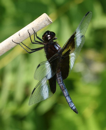 A mature male Widow Skimmer.