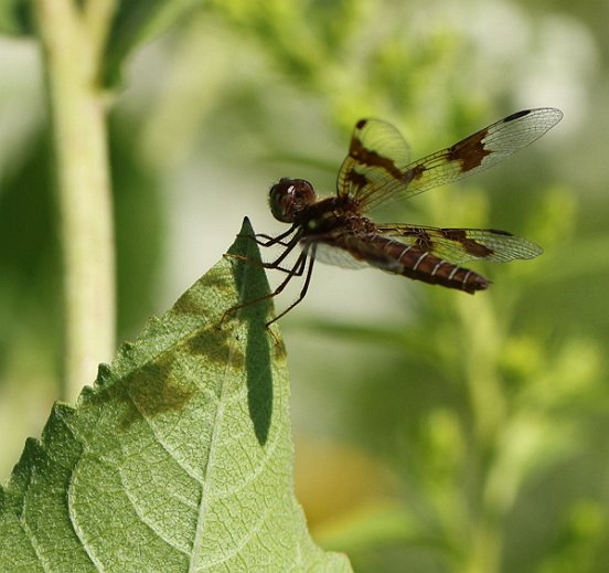 Our smallest local dragonfly, a female of the diminutive Eastern Amberwing.