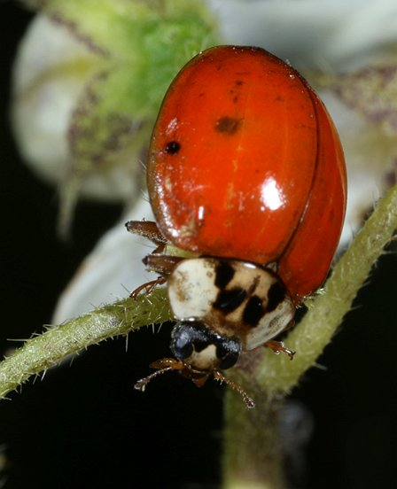 Lady Beetles, such as this introduced and widespread Asian Multicolored Lady Beetle, are often omnivores, consuming both aphids and flower pollen & nectar.