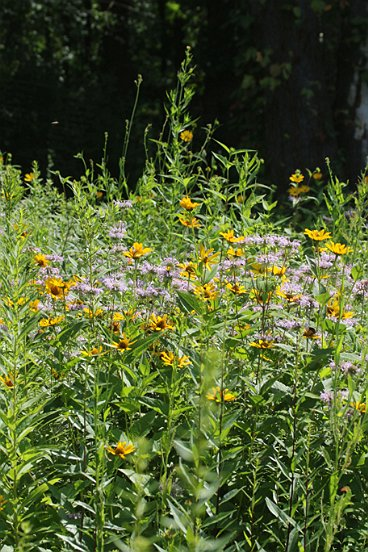 Just so you don't claustrophobic (or is that 'macrophobic'?), here's a meadow shot of a mix of Bee Balm and Cone Flower.