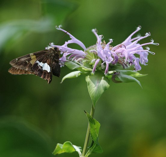 Our largest common skipper, the Silver-Spotted Skipper, is a fast flying, frequent visitor of flowers.