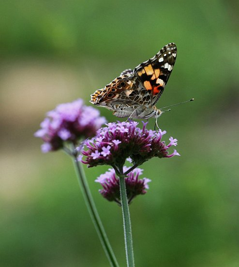 Painted Lady perches on Tall Vervain in the South Meadow.