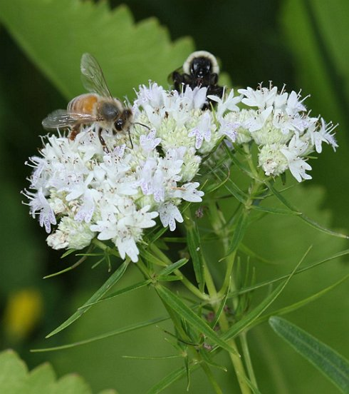Here, a Honey Bee and Bumblebee share a sip at a Slender Mountain Mint flower cluster.