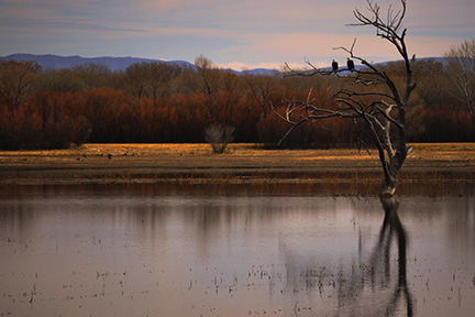 Bosque-del-Apache-Eagles.jpg