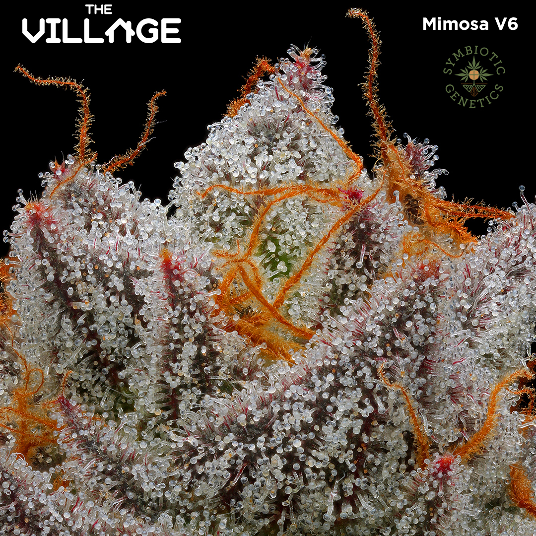 Mimosa V6 Grown By The Village Is Now Available — South Sacramento