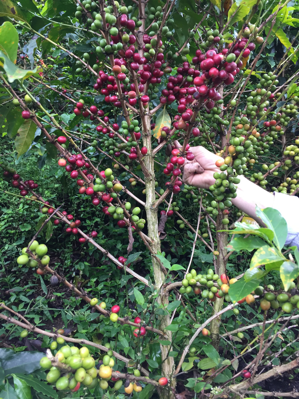 Will picking coffee cherries in Colombia