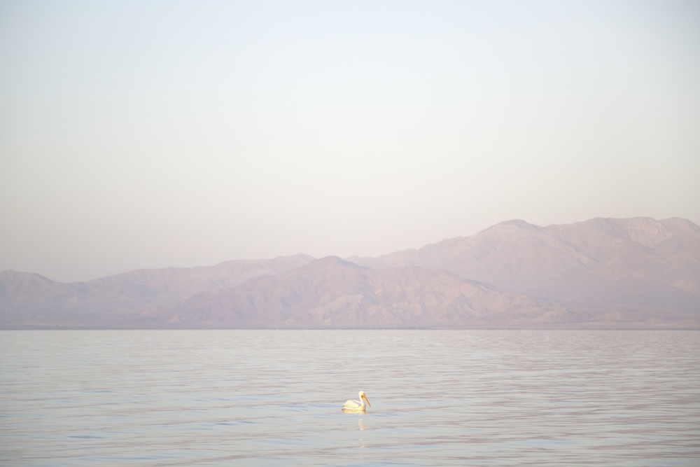 Pelican, Salton Sea, California,  2014