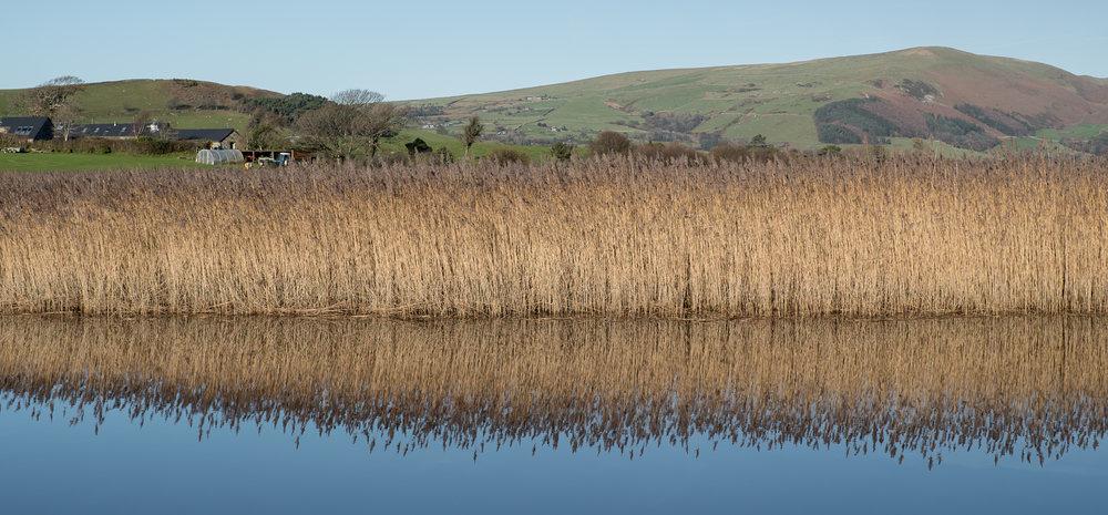Reeds reflection.jpg