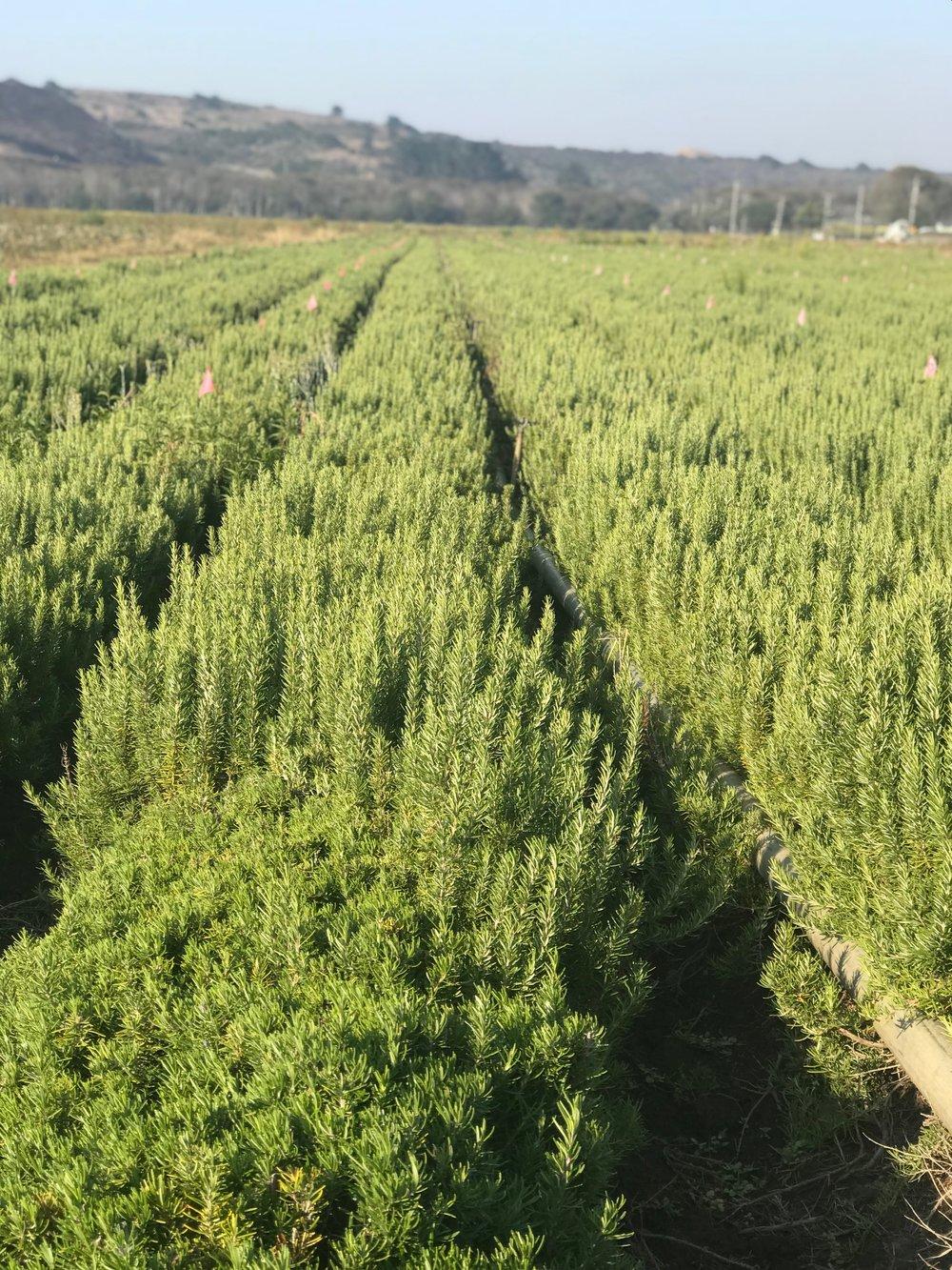 Rosemary Field.JPG