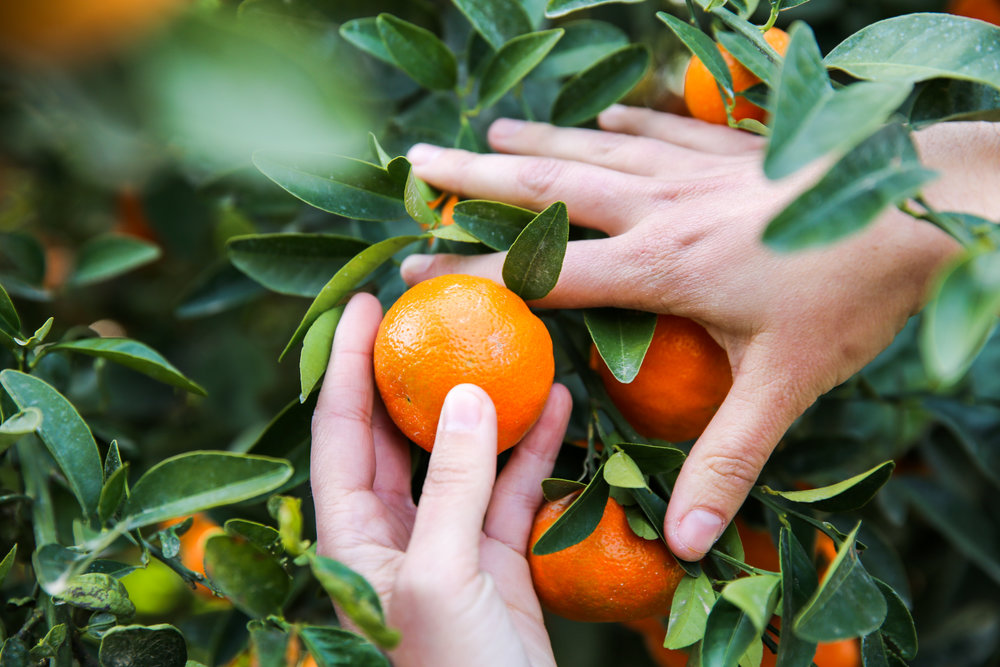 FruitWorldFarm_MandarinHands_Web_CK (1).jpg