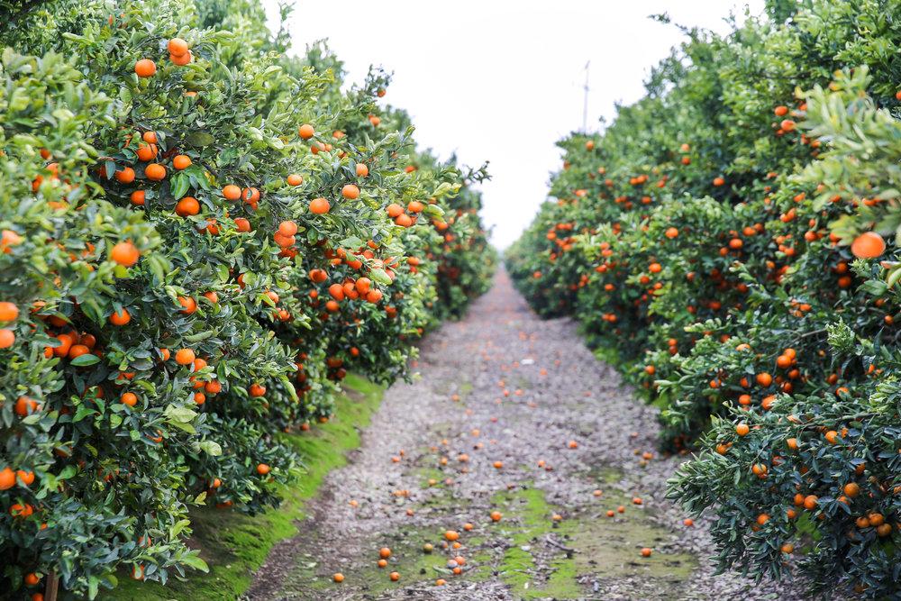FruitWorldFarm_Mandarins_Web_CK_15.jpg