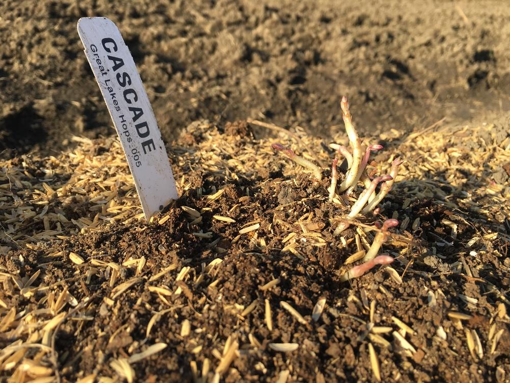 Early Cascade Hop Growth