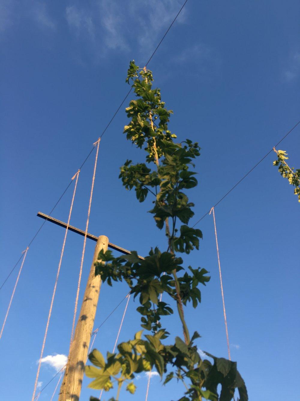 Mature Hop Plant