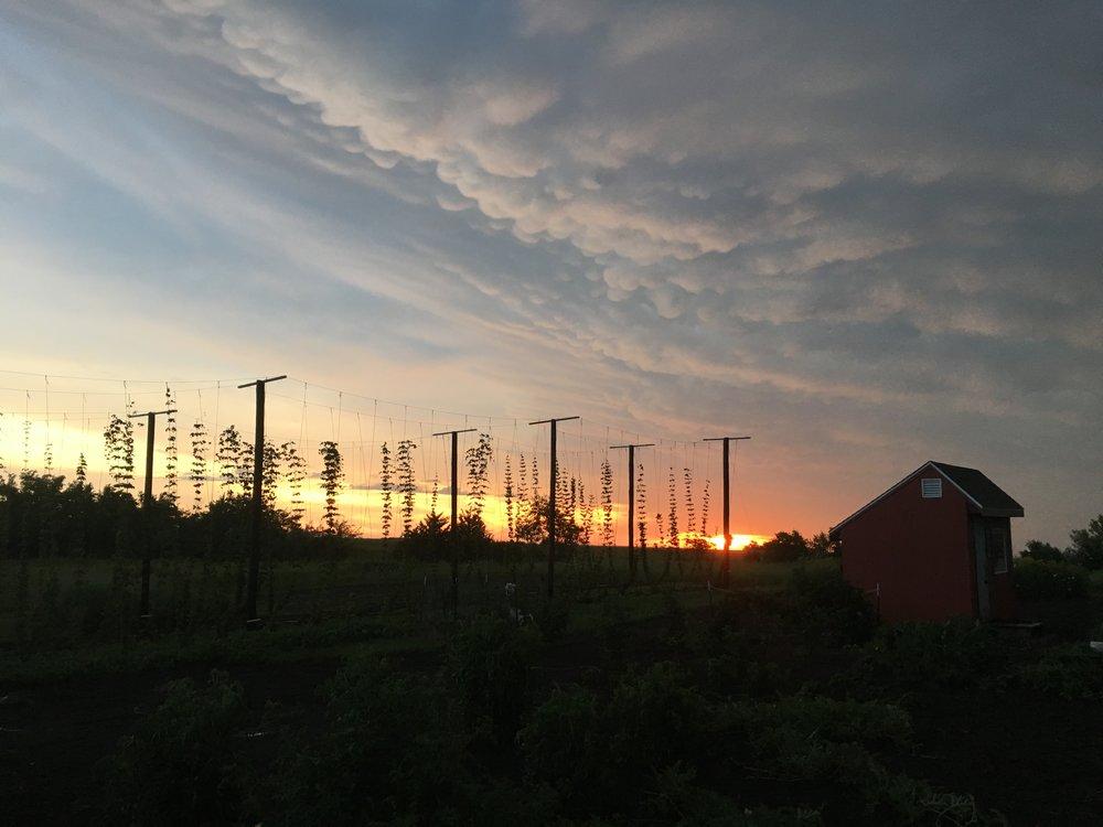 Sunrise Hop Trellis