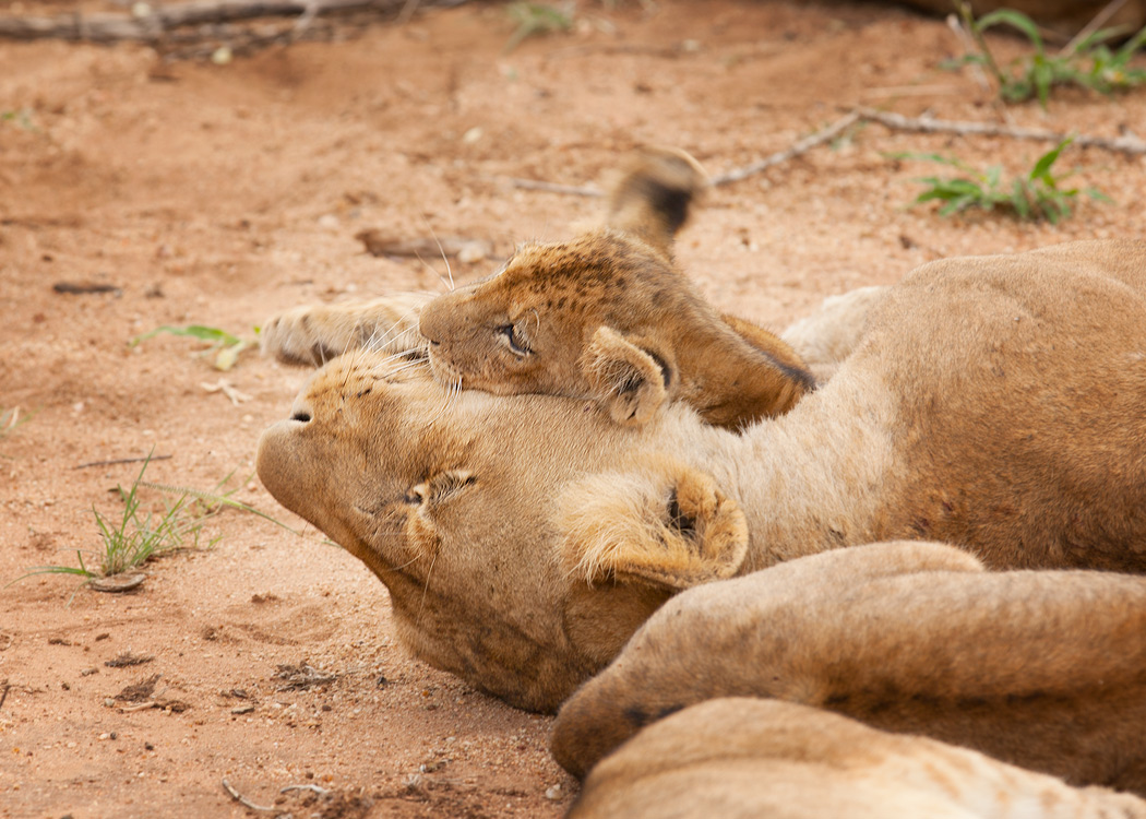Lioness-Cub 2