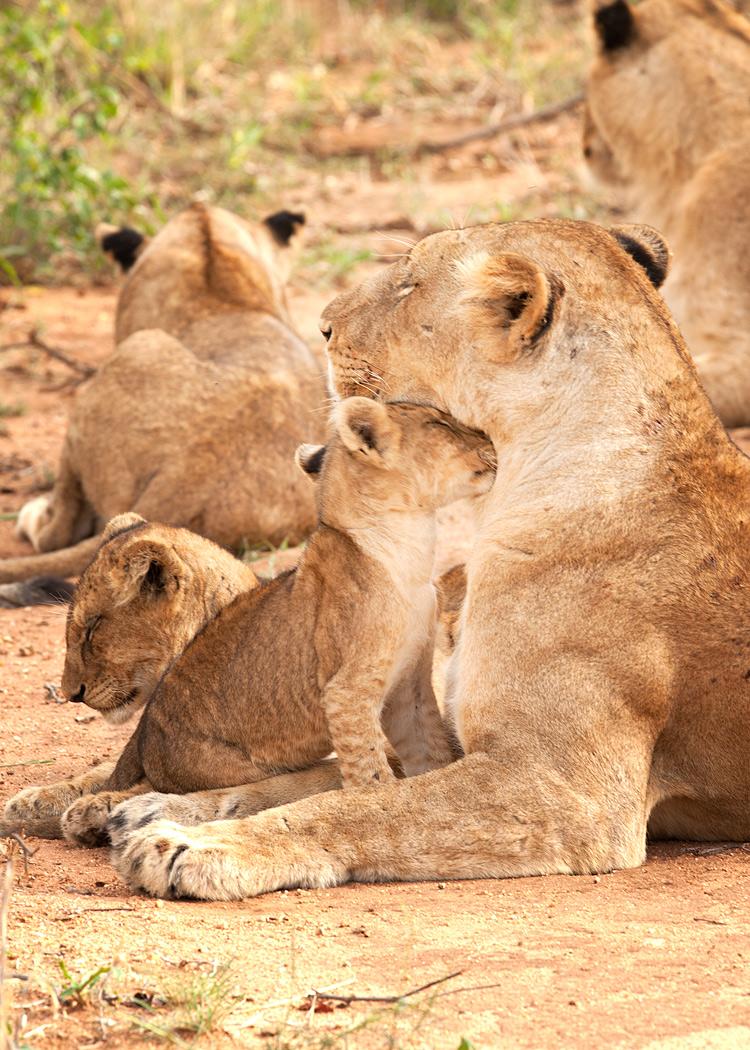 Lioness-Cub