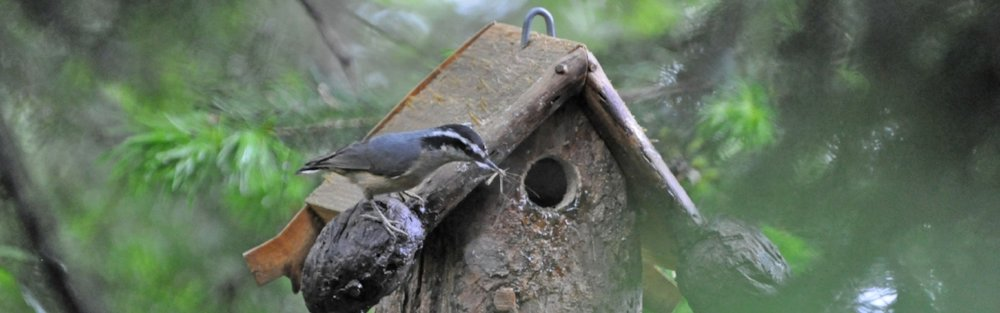 Red-breasted Nuthatches_w-cranefly_db_20170516 (21b).jpg