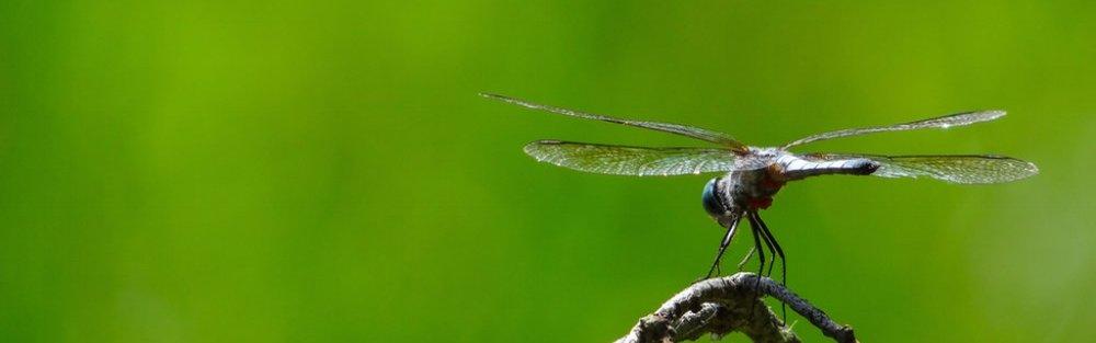dragonfly-1.jpg