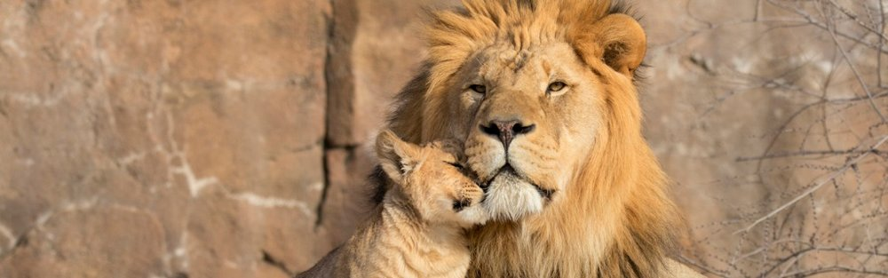 male-african-lion-is-cuddled-by-his-cub-during-an-affectionate-moment-picture-id933863084.jpg