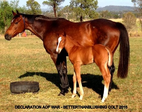 Declaration of War x Betterthanblushing - Chestnut Colt - 2015