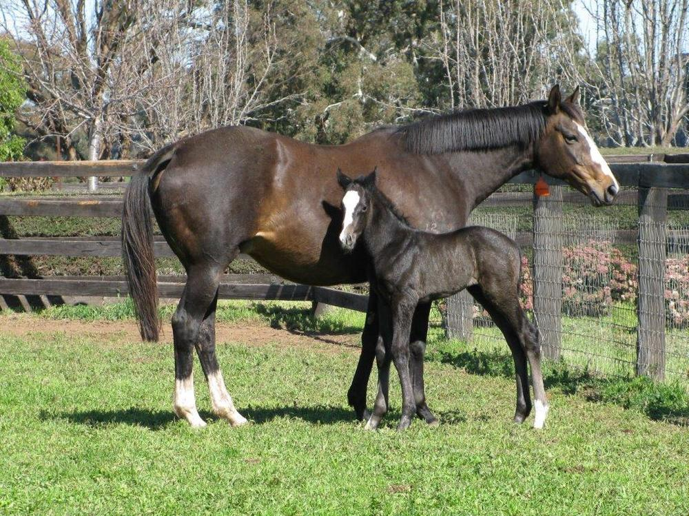 Dalakhani x Witwatersrand - Brown Colt - 2015