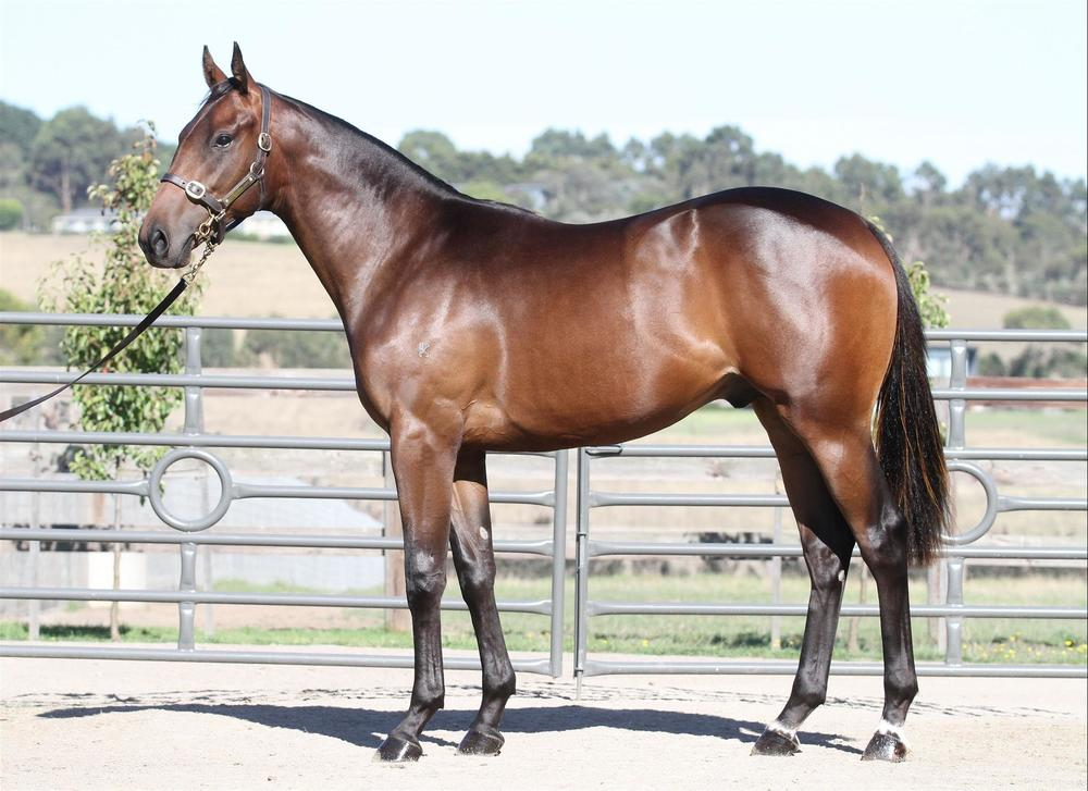 Inglis Premier - Lot 199 Animal Kingdom x Miss Diagnosis - Bay Colt
