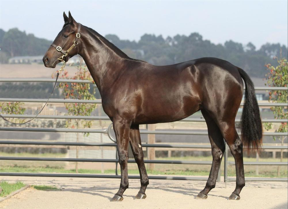 Inglis Easter - Lot 211 Pierro x Brandish - Black Brown Filly