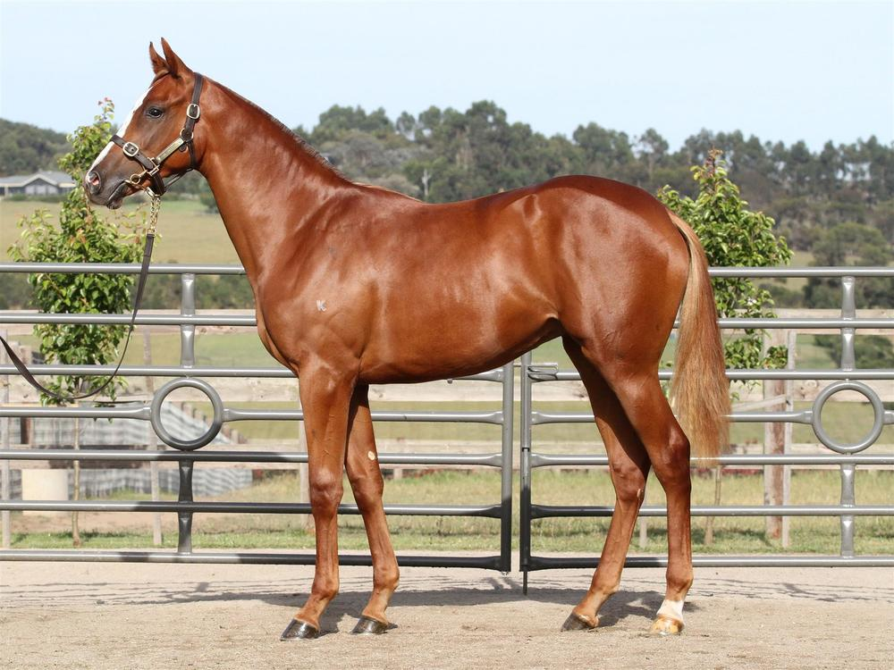 MM Lot 61 Sebring x Betterthanblushing - Chestnut Filly