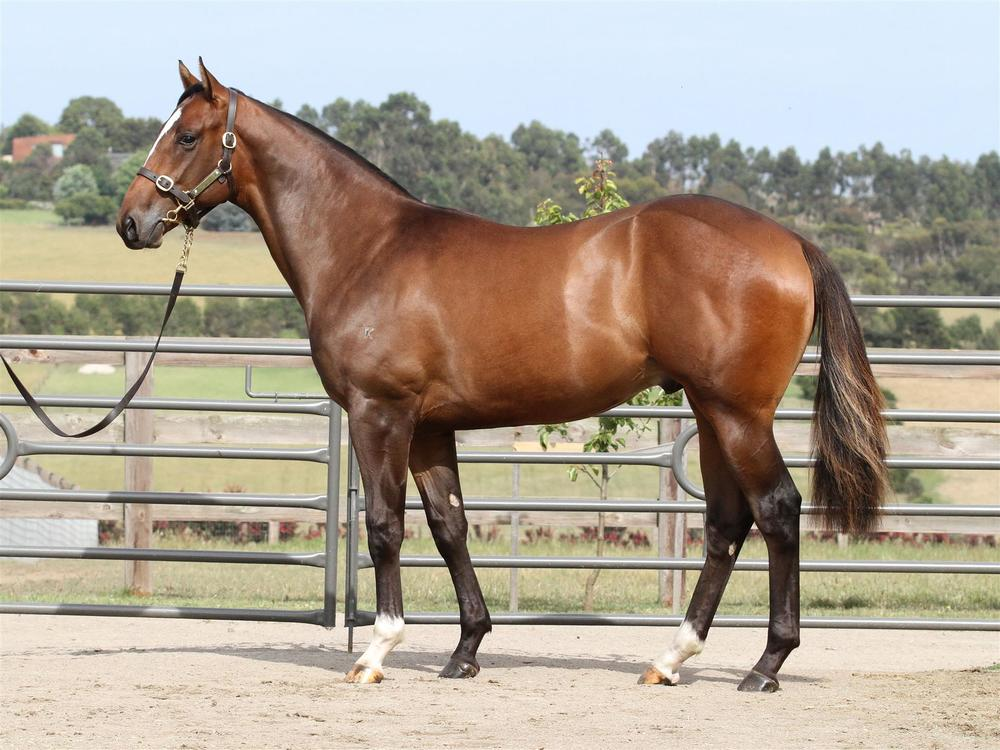 MM Lot 204 - Snitzel x Exceedingly Happy- Chestnut Filly