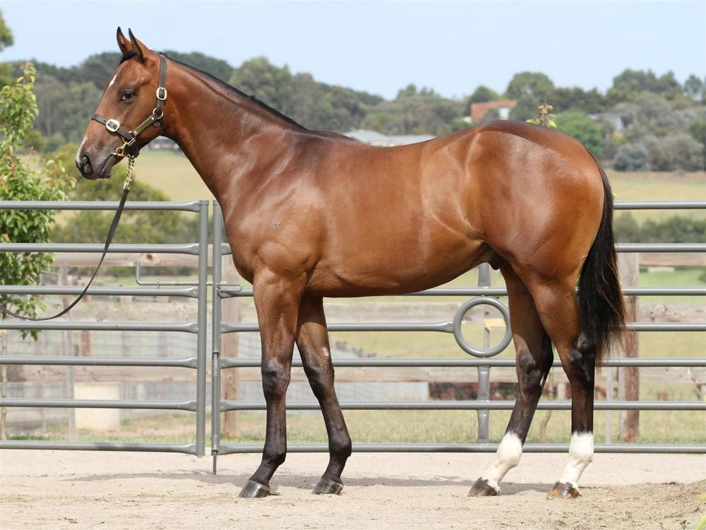 MM Lot 258 - Nicconi x Fustaan - Bay Colt