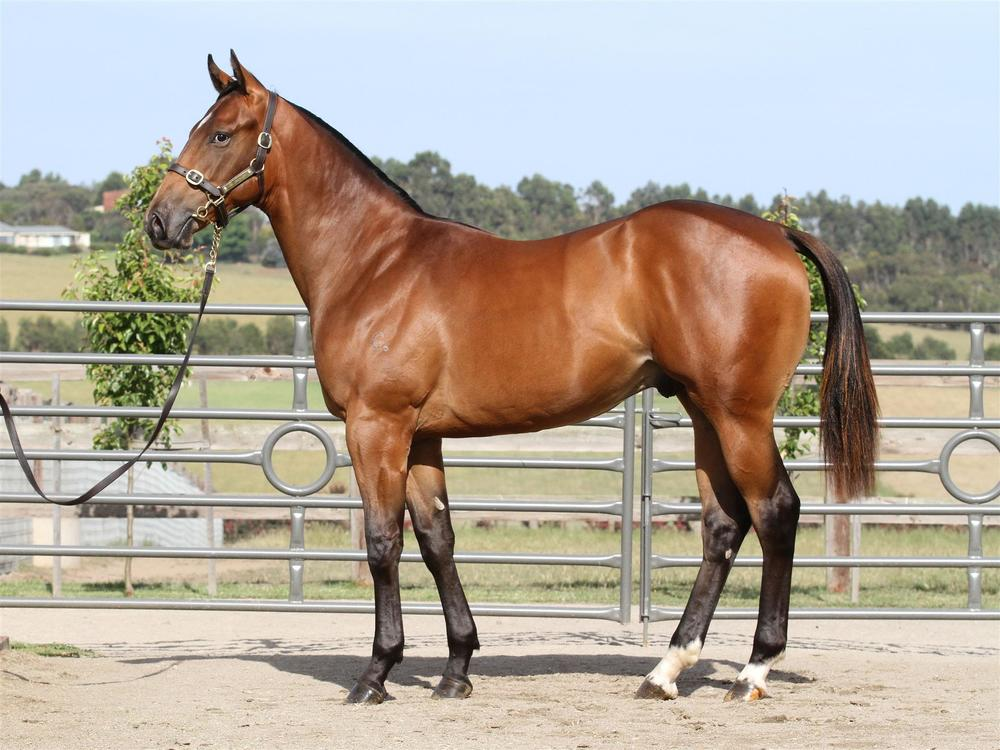 MM Lot 288 - Hinchinbrook x Happy Laughing - Bay Colt