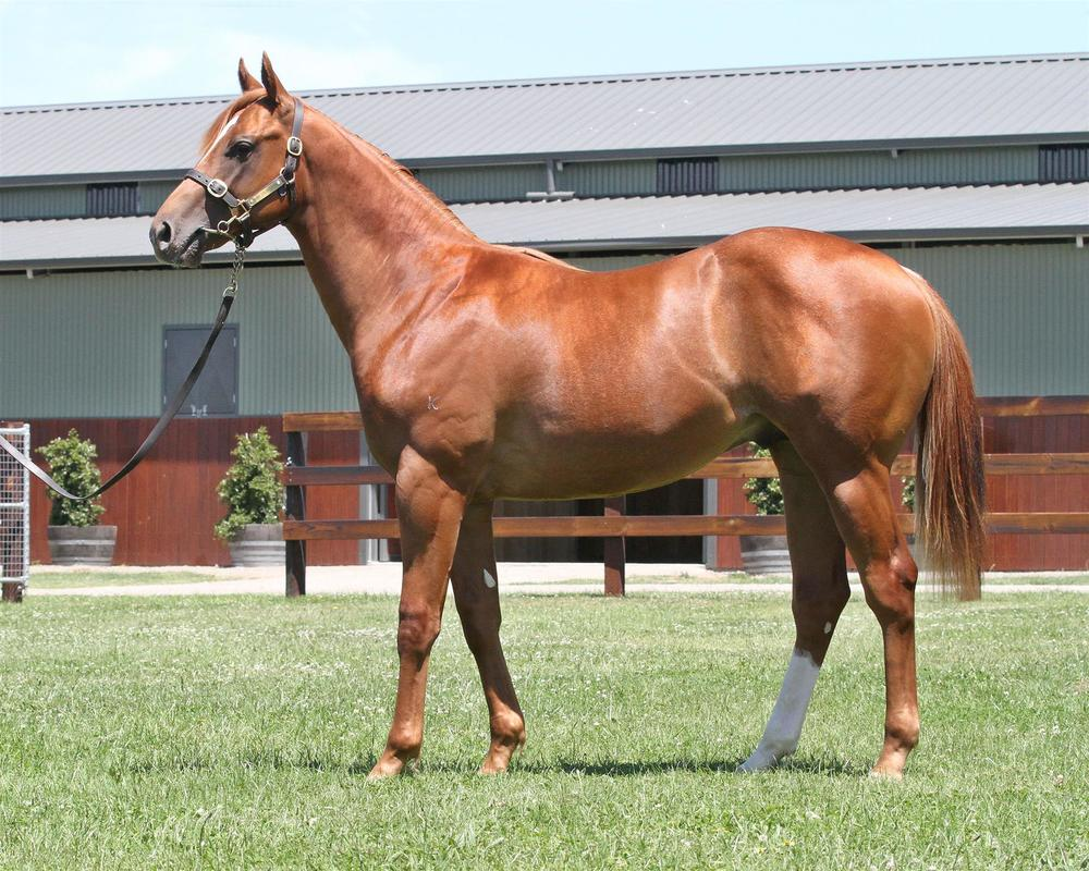 Lot 176 Magic Millions Gold Coast - Stratum x Courtney's Cuddles