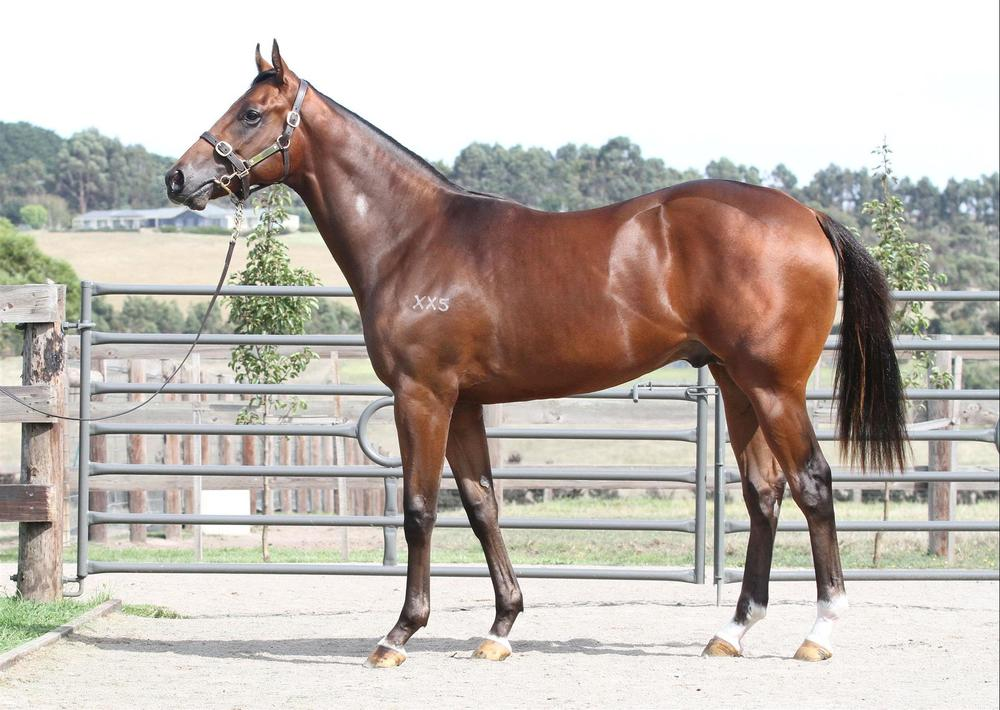 Inglis Easter Yearling Sale - Lot 150 Northern Meteor x Sadler's Girl