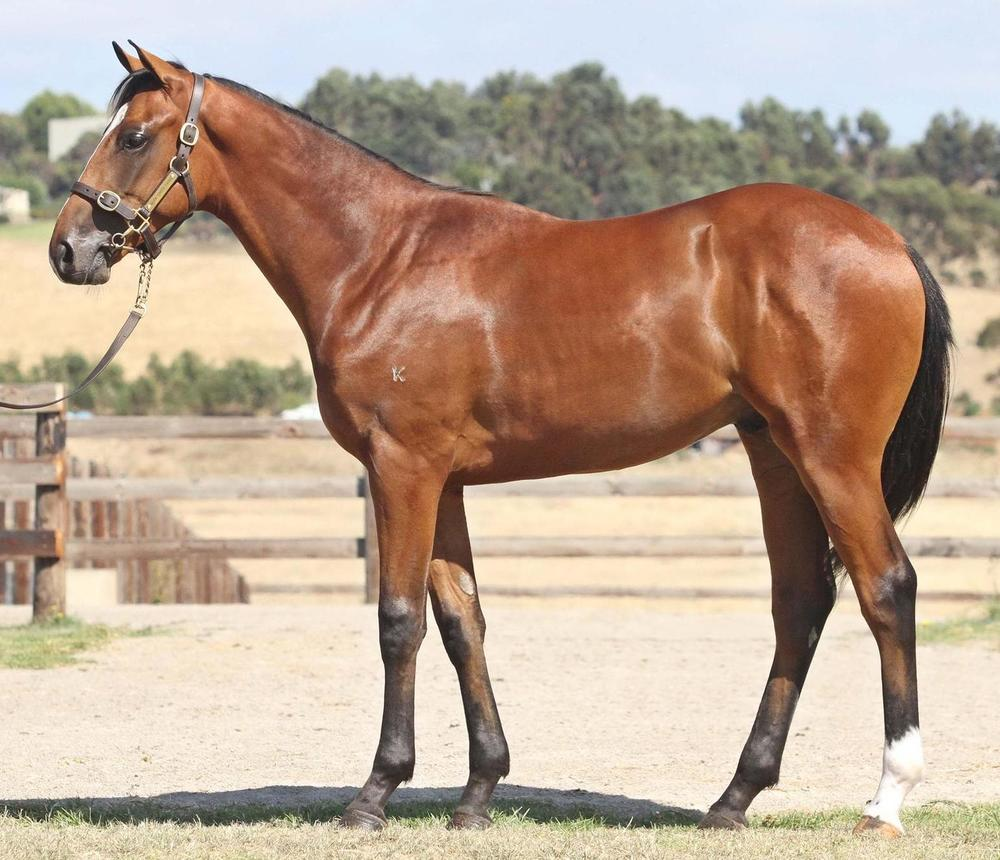 Lot 1899 Flying Spur x Witwatersrand Colt Magic Millions National Yearling Sale