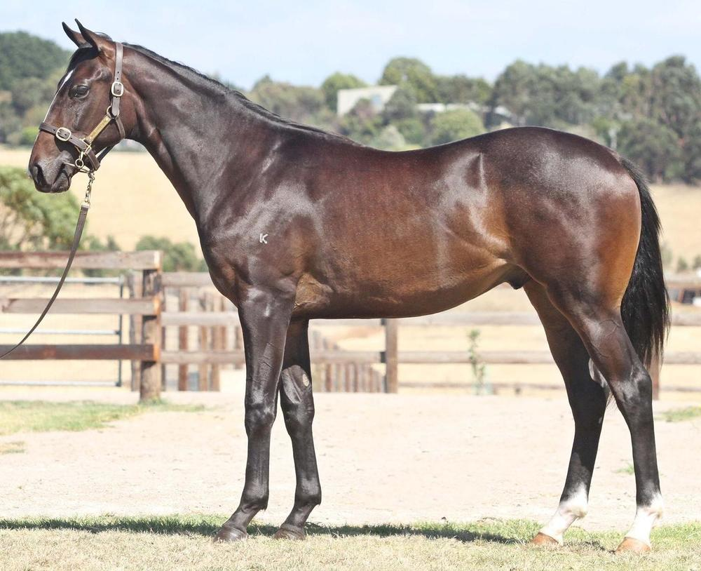 Lot 1559 Bel Esprit x Fustaan Colt Magic Millions National Yearling Sale