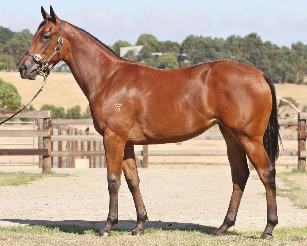 Lot 436 Denman x Indian Spice Filly Inglis Melbourne Premier Sale