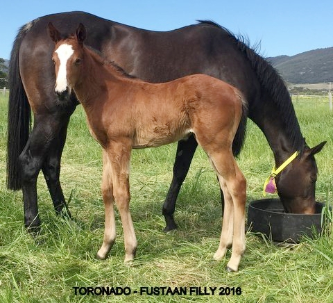 Toronado x Fustaan Bay Filly